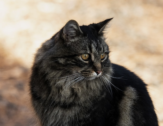 Colpo del primo piano di un gatto dai capelli lunghi domestico nero sveglio