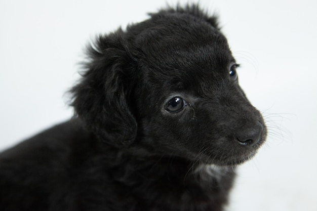 Closeup shot of a cute black flat-coated retriever dog with a humble facial expression