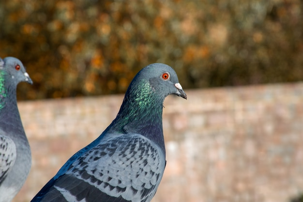 Closeup shot of a cute blue pigeon