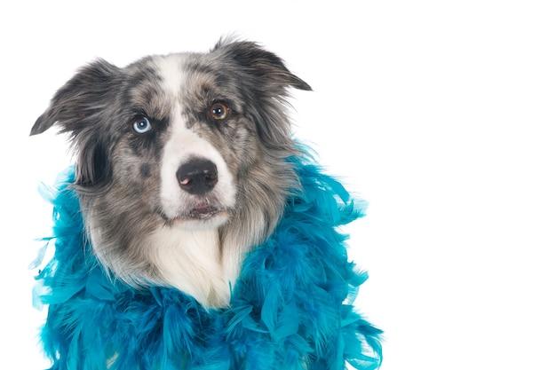 Primo piano di un simpatico cane border collie con una serie di piume blu intorno al collo
