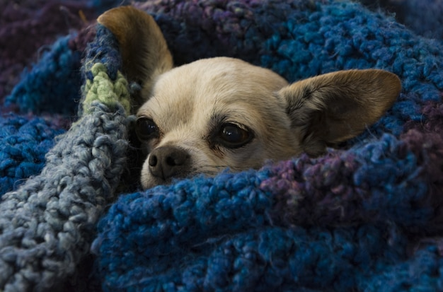 Closeup shot of a cute brown chihuahua wrapped with a blue cozy blanket