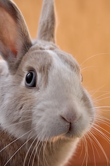 Closeup shot of a cute bunny with an orange background