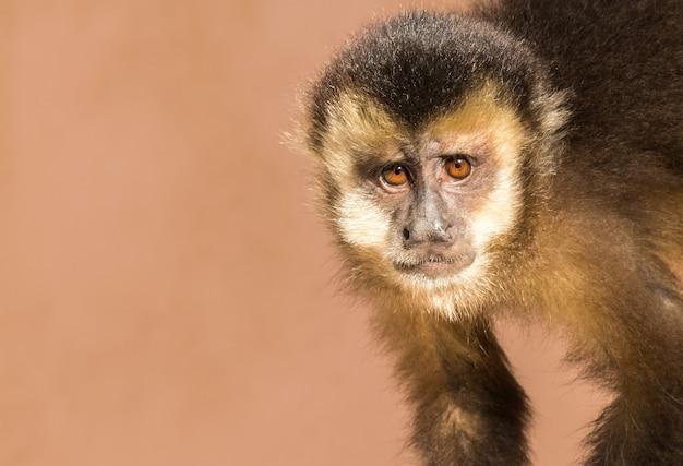 Closeup shot of a cute capuchin monkey