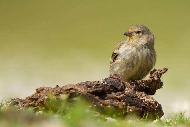 Colpo del primo piano di un simpatico uccello carduelis che riposa su un tronco con uno sfondo verde