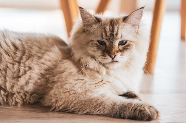 Closeup shot of a cute cat lying on the wooden floor with a proud look