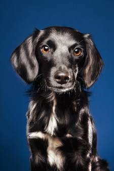 Closeup shot of a cute dog on a blue background