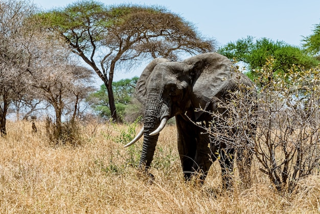 Closeup shot of a cute elephant walking on the dry grass in the wilderness