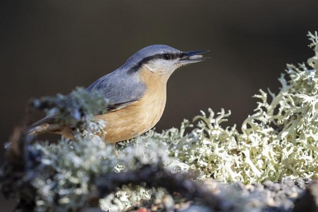 Closeup shot of a cute eurasian nuthatch bird