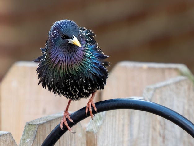 Closeup shot of a cute european starling