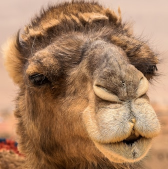 Closeup shot of the cute face of a camel