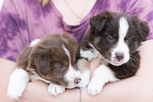 Primo piano di simpatici cuccioli di border collie lanuginosi