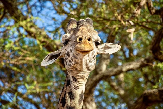 Colpo del primo piano di una giraffa carina davanti agli alberi con foglie verdi