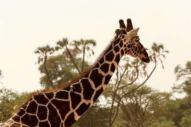 Colpo del primo piano di una giraffa sveglia con gli alberi verdi nei precedenti sotto il chiaro cielo