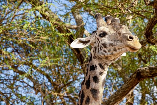Colpo del primo piano di una giraffa carina con gli alberi con foglie verdi nello spazio