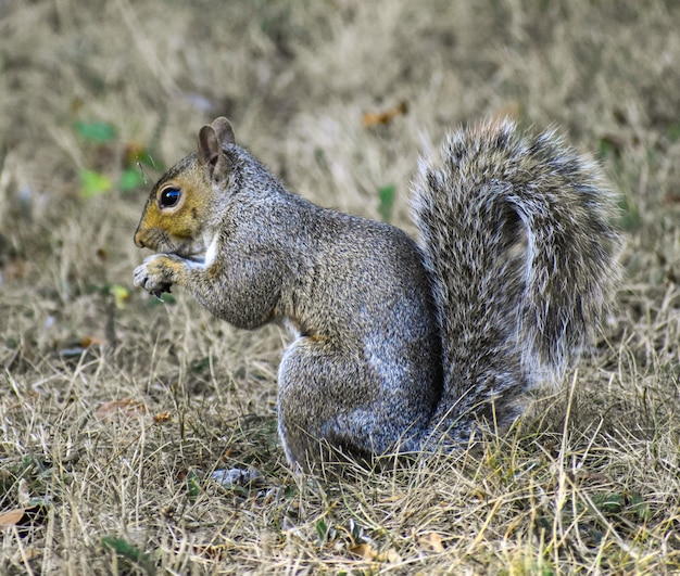 Closeup shot of a cute grey squirrel on a blurred surface