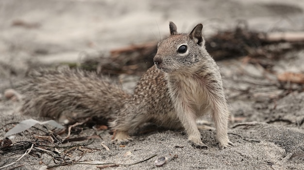 Closeup shot of a cute ground squirrel looking for food on the beach