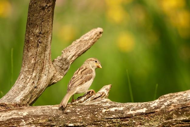Colpo del primo piano di un passero domestico carino appollaiato su un ramo di un albero