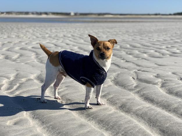 Colpo del primo piano di un simpatico jack russell in piedi sulla sabbia in spiaggia