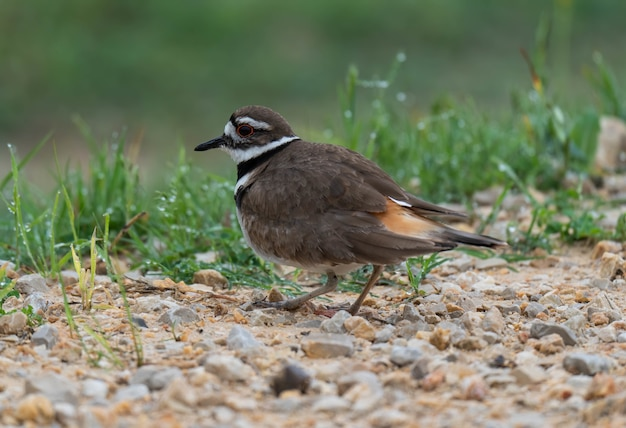 Colpo del primo piano di un uccello carino killdeer in piedi sul suolo