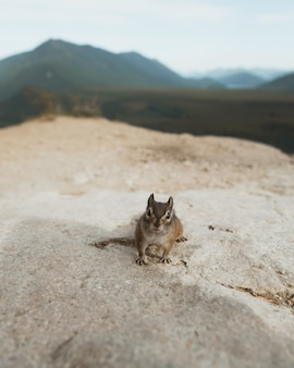 Colpo del primo piano di un piccolo scoiattolo sveglio che sta su una roccia