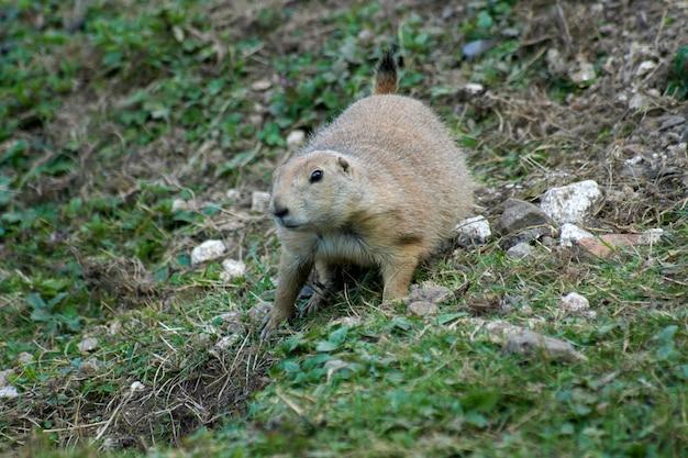 Closeup shot of a cute marmot in the nature
