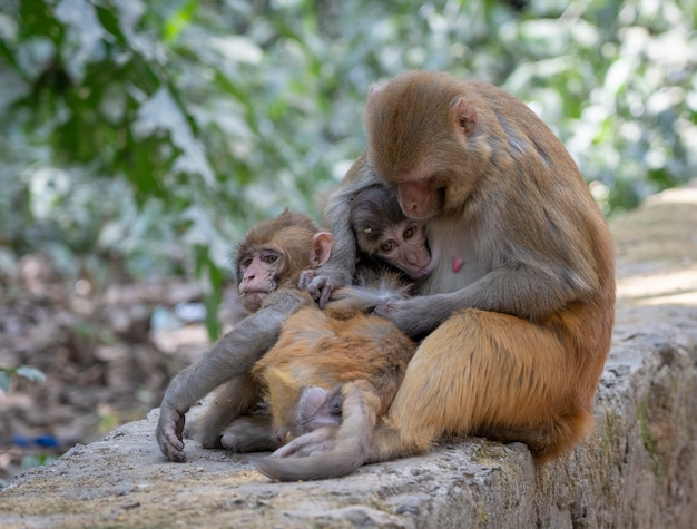 Closeup shot of cute monkeys and their mom sitting on a rock