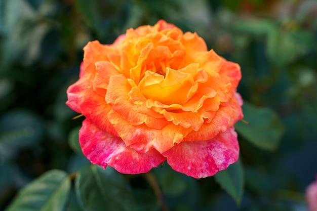 Primo piano di una rosa carina sotto la luce del sole
