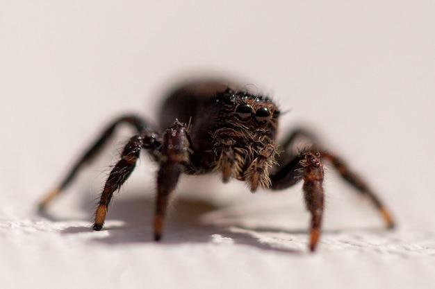 Colpo del primo piano di un ragno carino su una superficie bianca