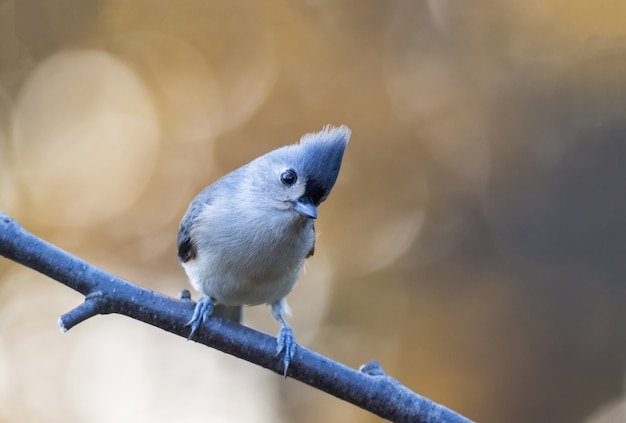 Closeup shot of a cute tufted titmouse perched on a branch