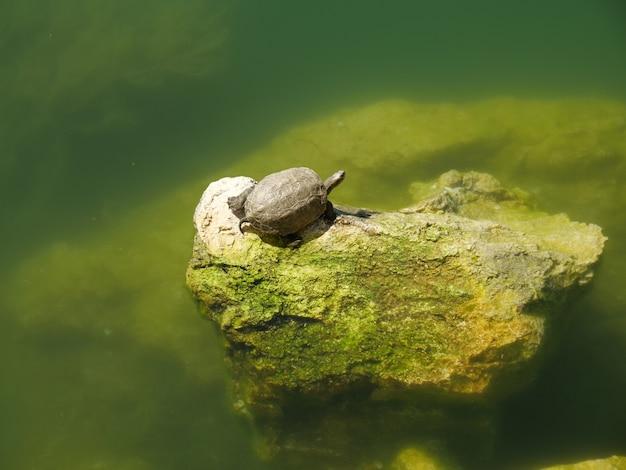 Colpo del primo piano di una tartaruga carina su una roccia muschiosa