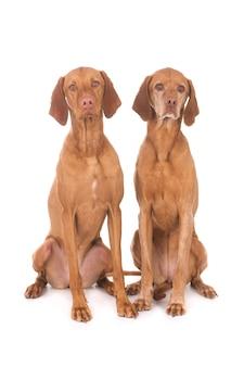 Colpo del primo piano di simpatici cani vizslas isolati sul muro bianco