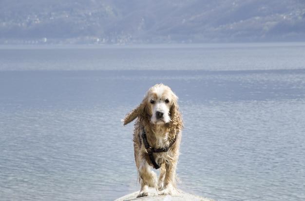 Colpo del primo piano di un cane di cocker spaniel bagnato sveglio che cammina vicino al lago