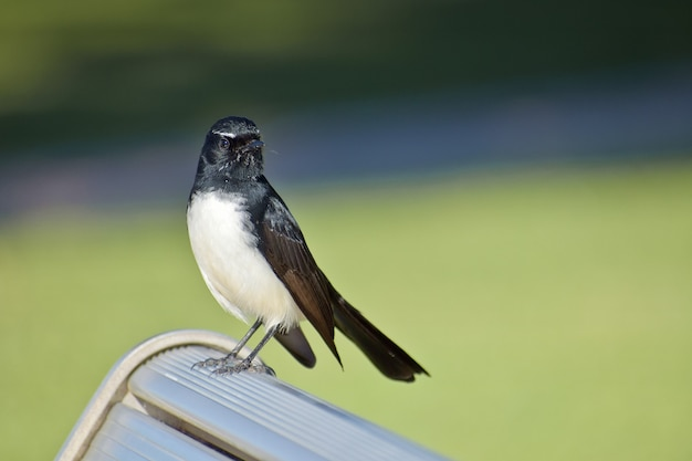 Closeup shot of a cute willie wagtail bird perched on a bench