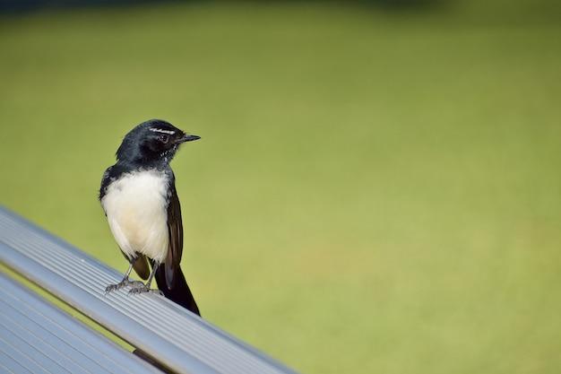 Primo piano di un simpatico uccello ballerina di willie appollaiato su una panchina