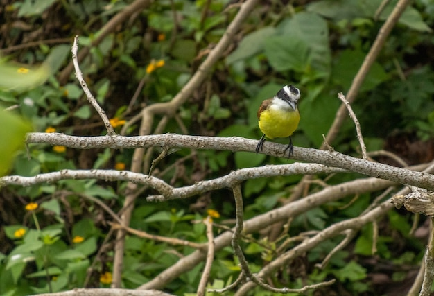 Closeup shot of a cute yellow-bellied tit sitting on a tree branch