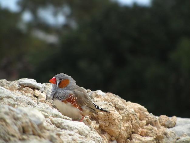 Closeup shot of a cute zebra finch on a rock