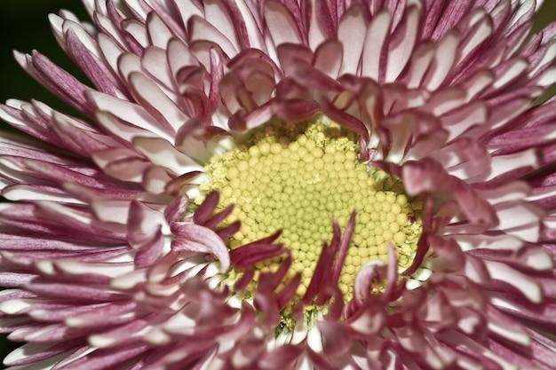Colpo del primo piano del fiore di studio della margherita