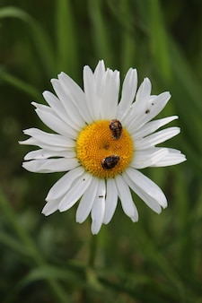 Closeup shot of a daisy with two small insects on it