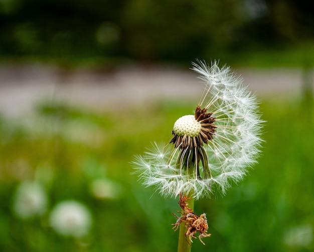 Closeup shot of dandelion flower