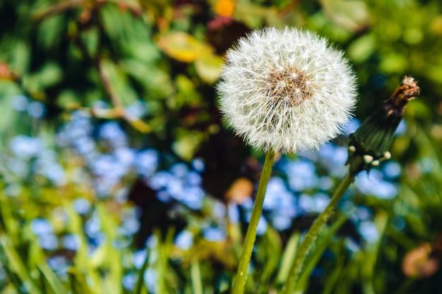Closeup shot of a dandelion