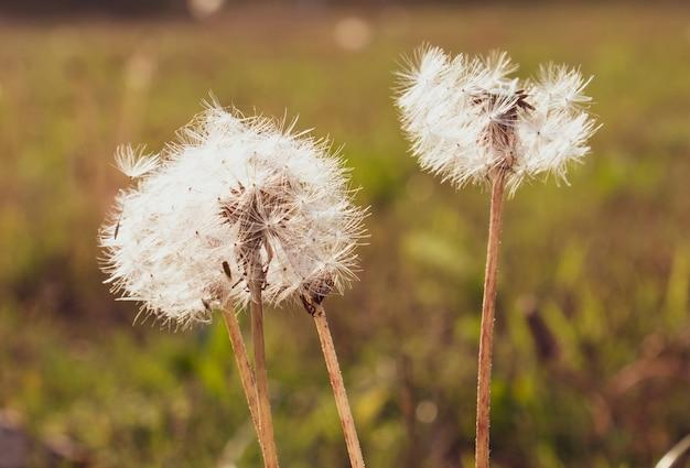 Closeup shot of dandelions