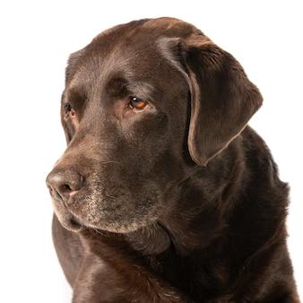 Colpo del primo piano di un labrador marrone scuro isolato su sfondo bianco