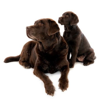 Closeup shot of a dark brown labrador puppy with mother isolated