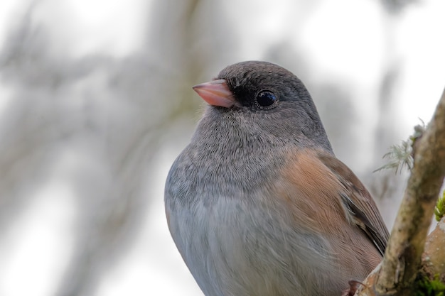 Closeup shot of a dark-eyed junco on a tree branch