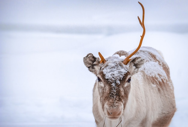 Closeup shot of a deer with one horn standing on the snowy ground in the forest in winter