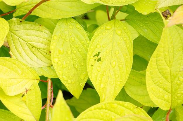 Colpo del primo piano delle gocce di rugiada sulle foglie verde chiaro