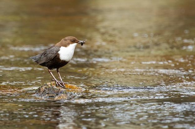 Closeup shot of a  dipper bird