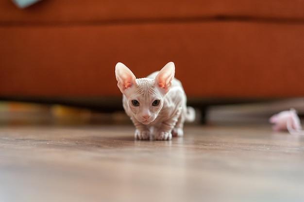 Closeup shot of a domestic sphynx cat