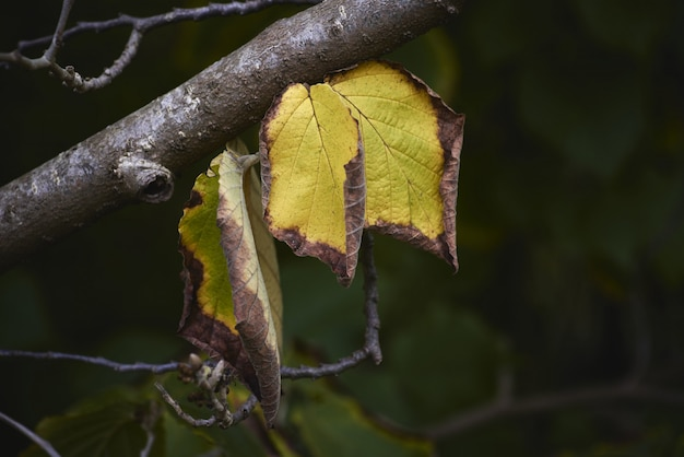 Closeup shot of dry leaves on a tree branch