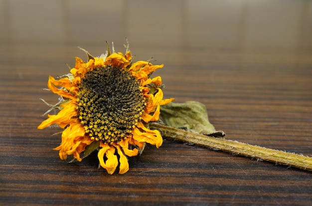 Closeup shot of a dry sunflower on a wooden surface